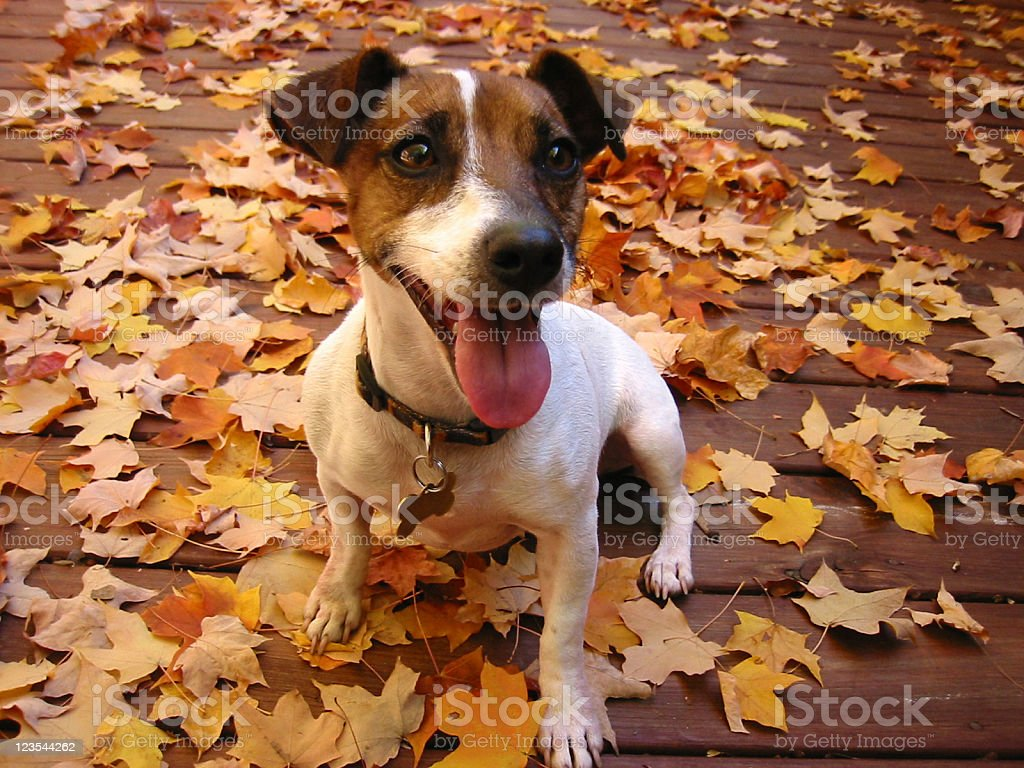 Smiling dog in Autumn day stock photo
