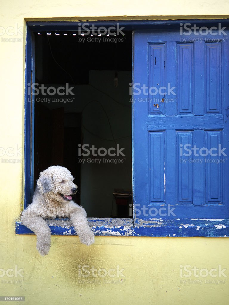 Smiling Dog Looking Out Blue Shutter Window royalty-free stock photo
