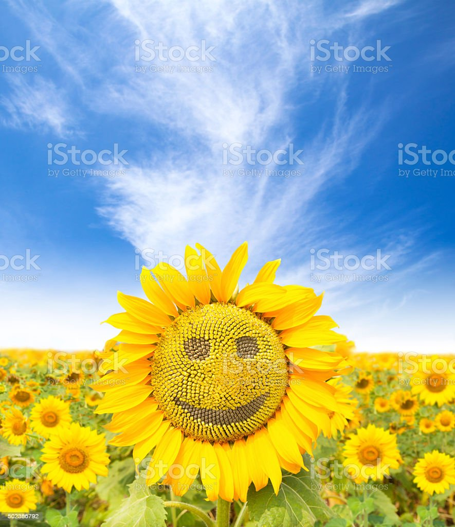 smiling face of sunflower at summer time stock photo