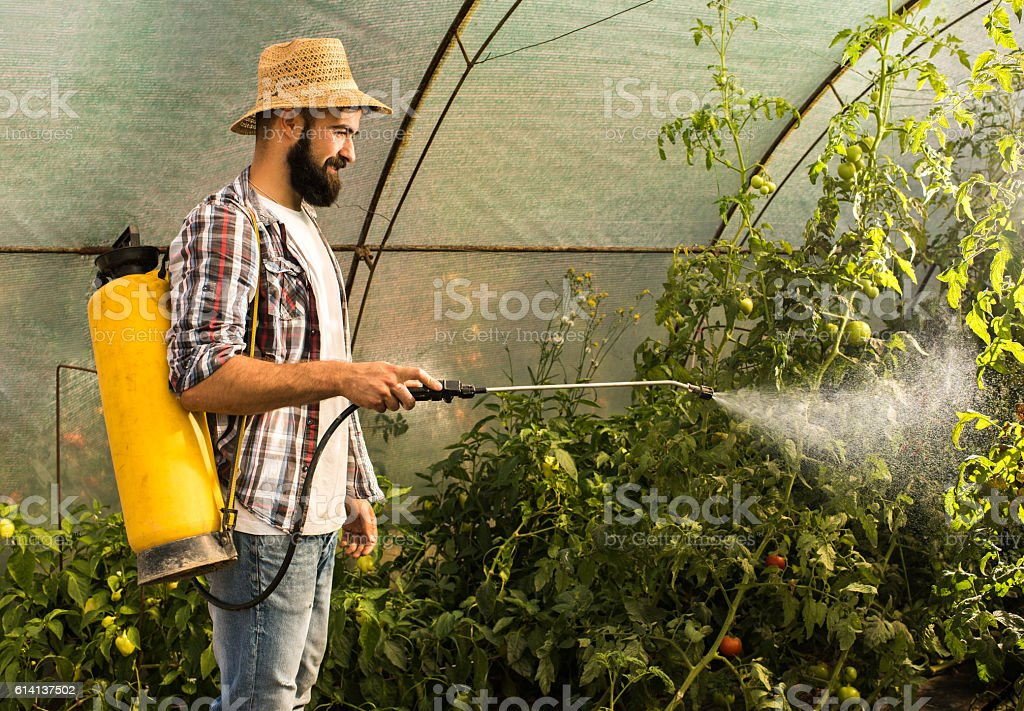 Smiling farm worker spraying tomatoes in polyethylene tunnel. stock photo