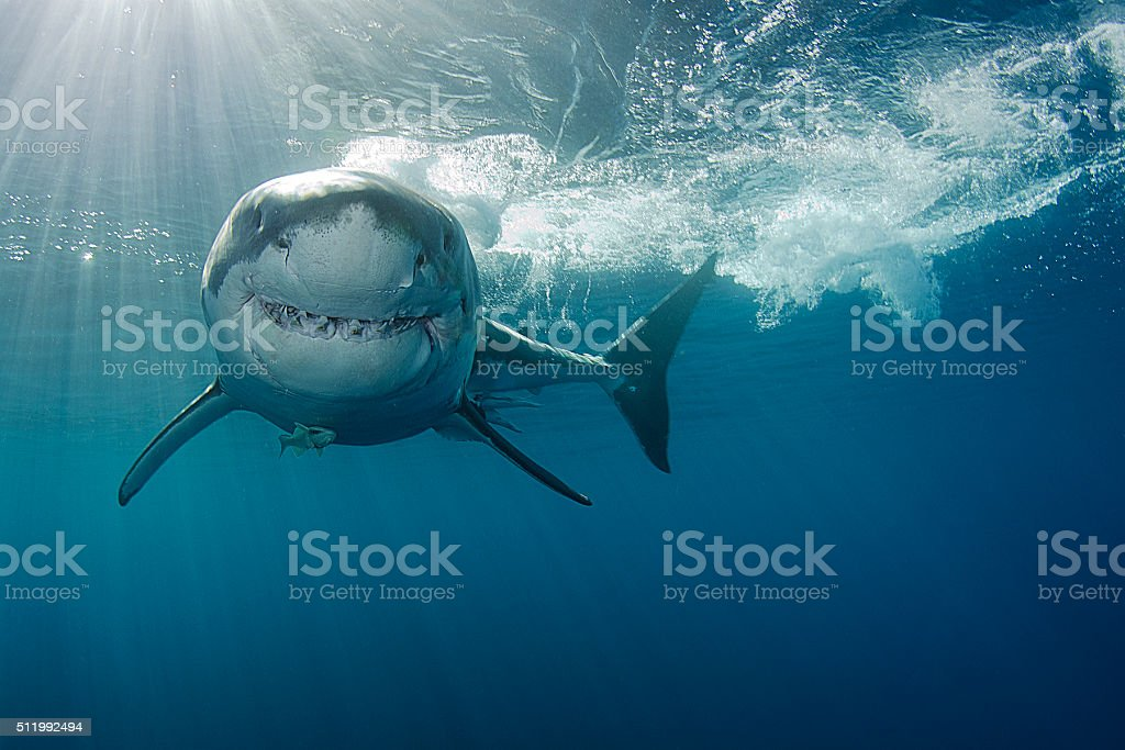 Smiling Great white shark stock photo