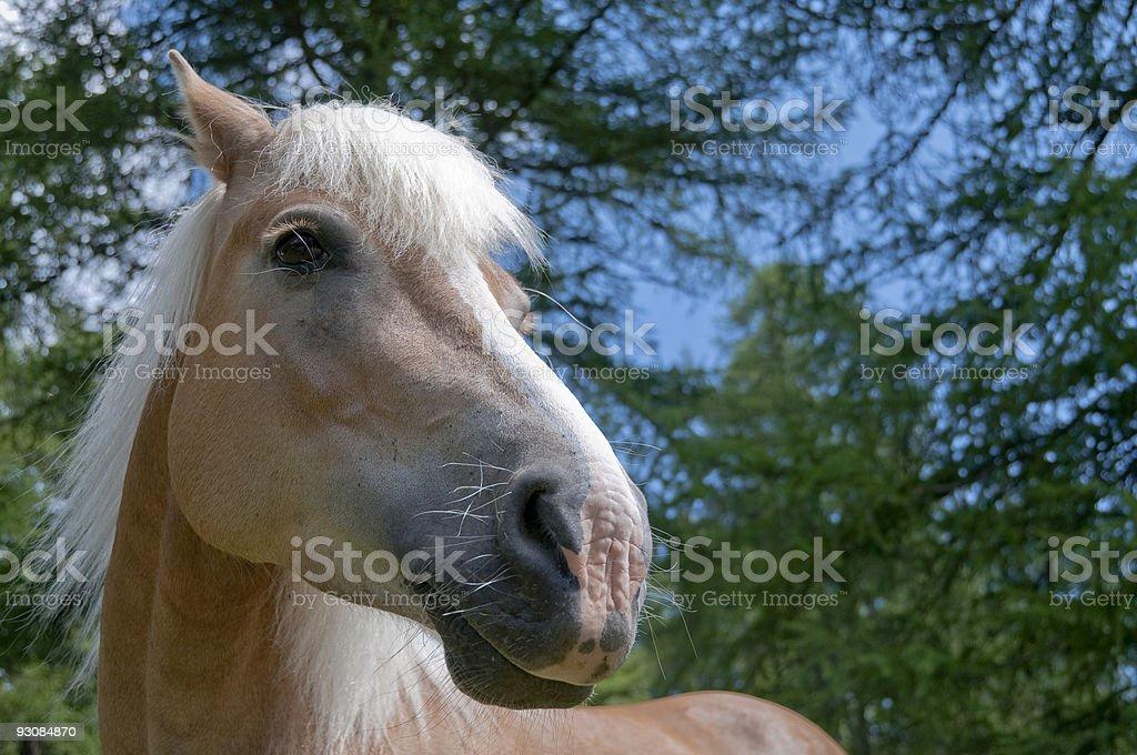 Smiling haflinger horse stock photo