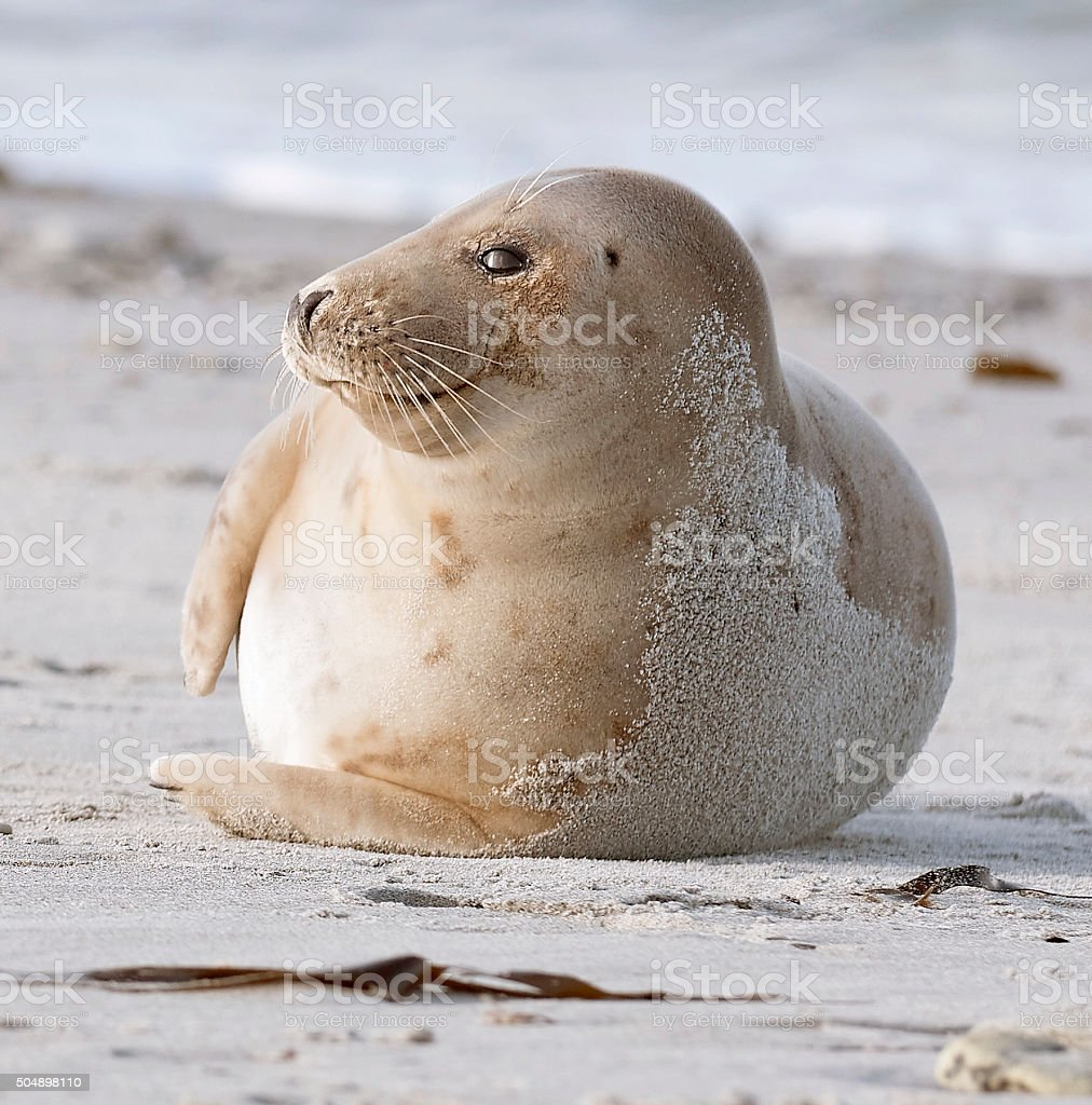 Smiling harbor seal lying on side at beach stock photo