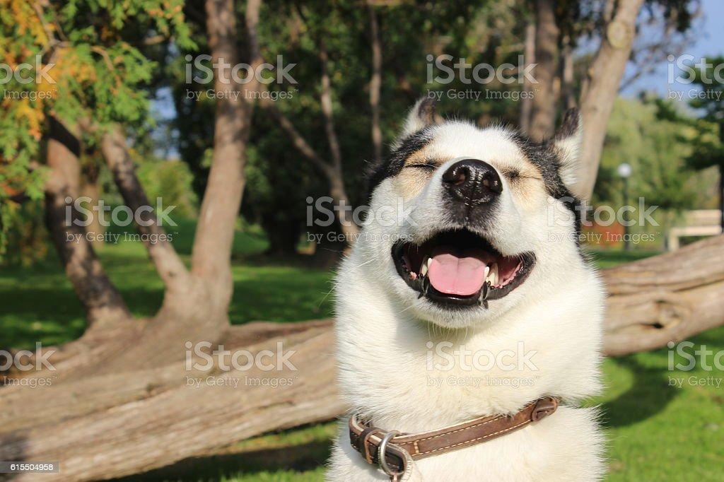 Smiling Husky stock photo