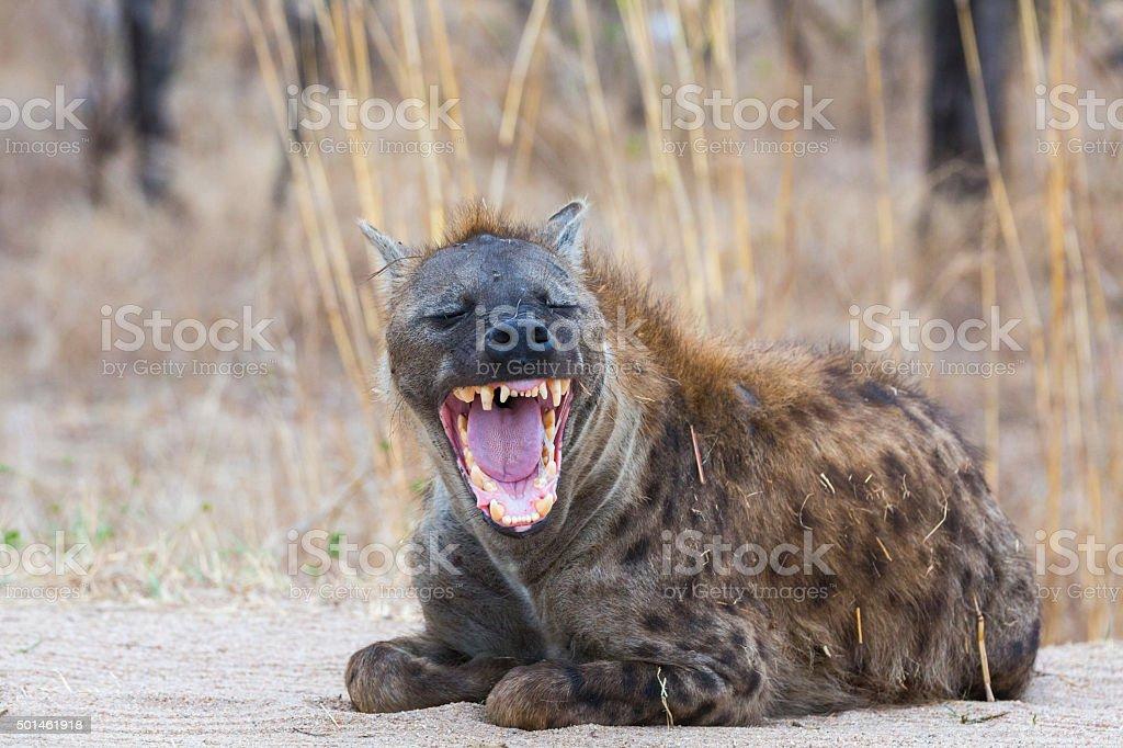 Smiling Hyena stock photo