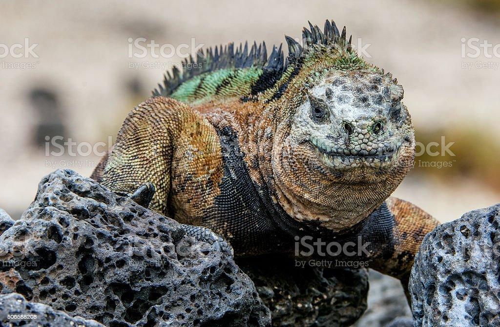 Smiling iguana. stock photo