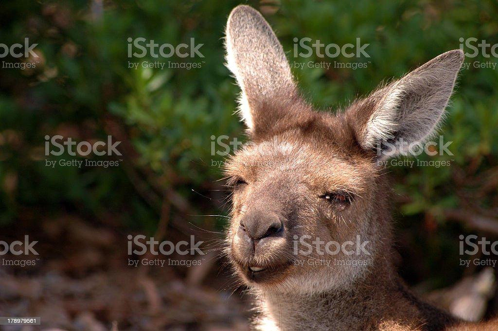 Smiling Kangaroo. royalty-free stock photo