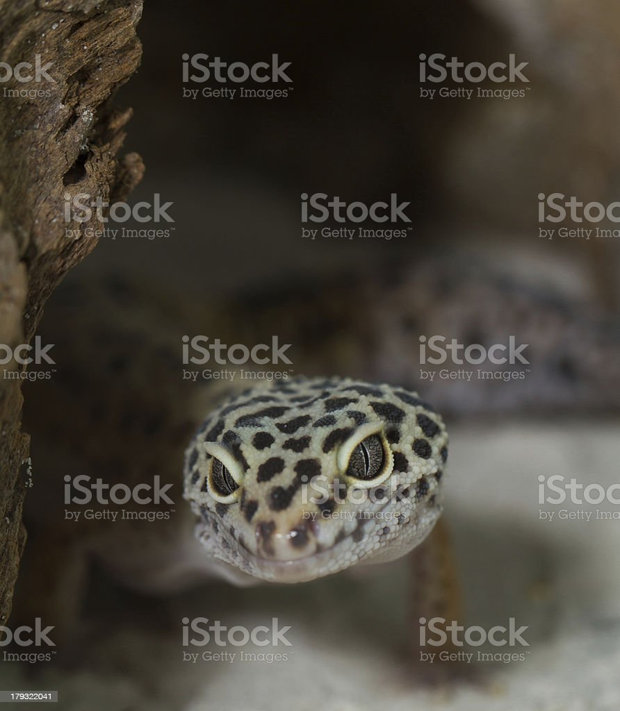 smiling leopard gecko on desert royalty-free stock photo