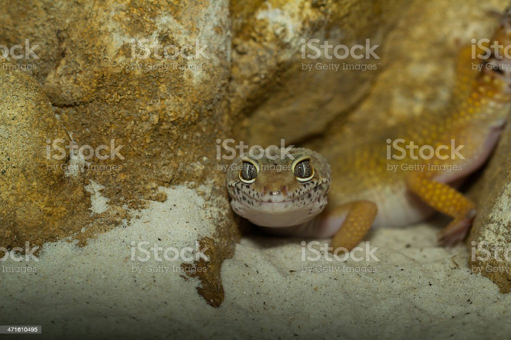 smiling leopard gecko on desert royalty-free stock photo