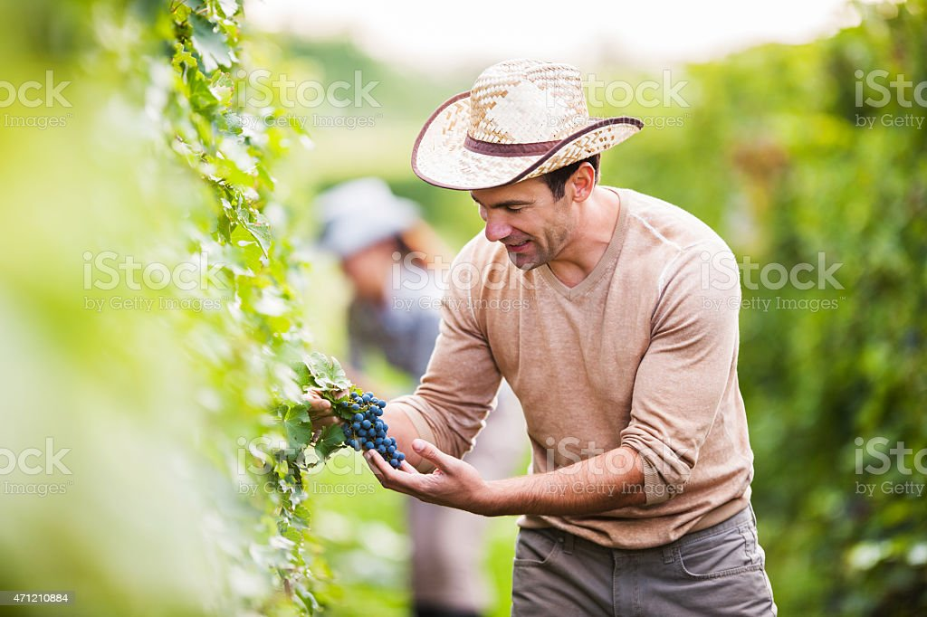Smiling man in vineyard picking grapes. stock photo