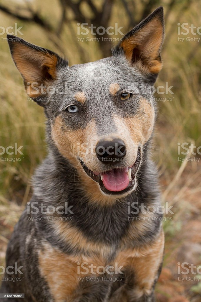 Smiling Mixed Australian Cattle Dog Headshot on natural background stock photo