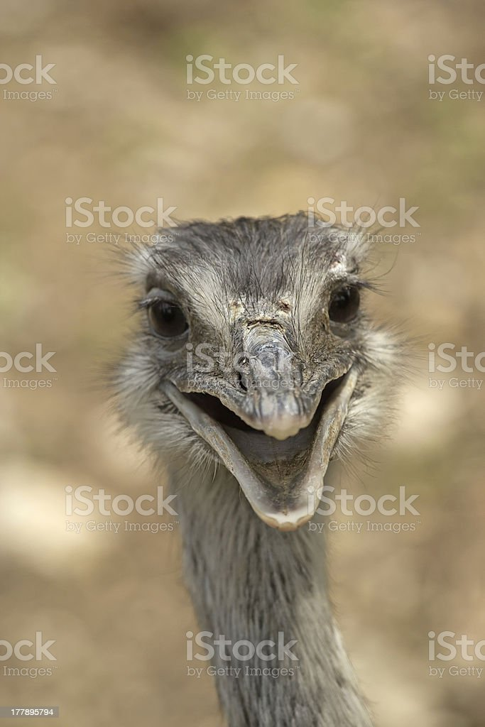 Smiling ostrich royalty-free stock photo