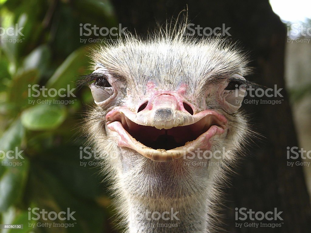 Smiling Ostrich stock photo