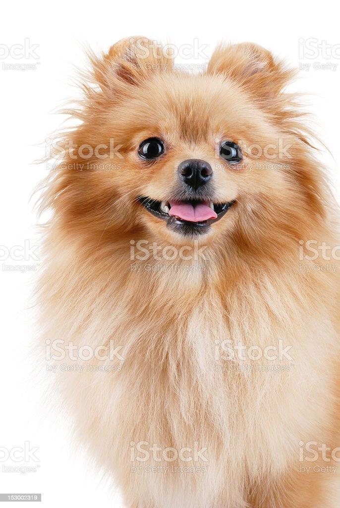 Smiling pomeranian dog. stock photo