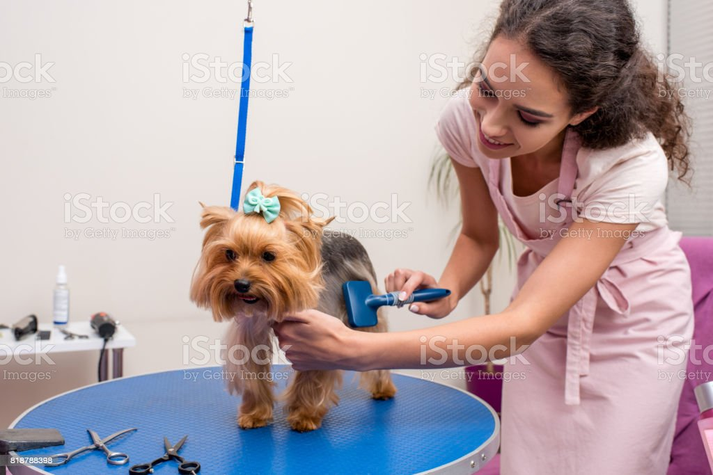 smiling professional groomer holding comb and grooming cute small dog in pet salon stock photo
