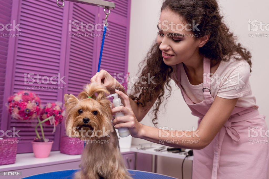 smiling professional groomer holding lotion and grooming cute small dog in pet salon stock photo