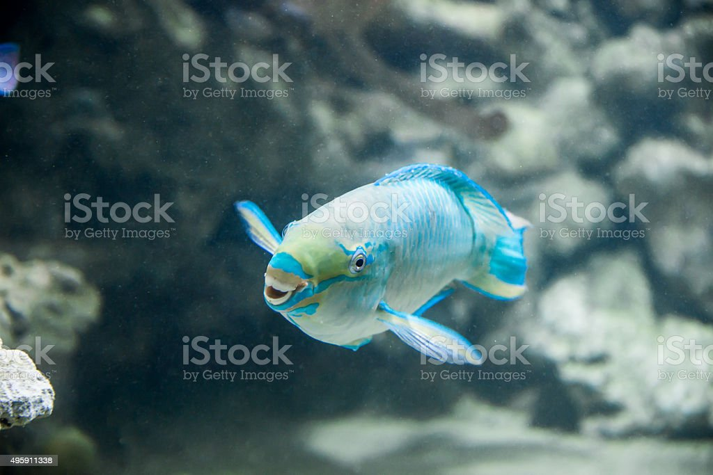 Smiling Queen Parrotfish stock photo