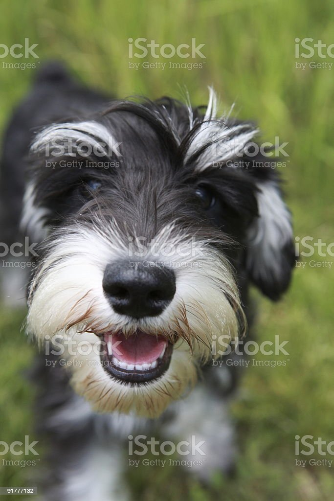 Smiling Schnauzer Puppy stock photo