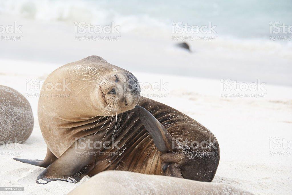 Smiling Sea Lion stock photo