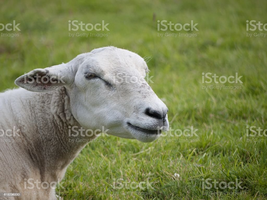 Smiling sheep stock photo