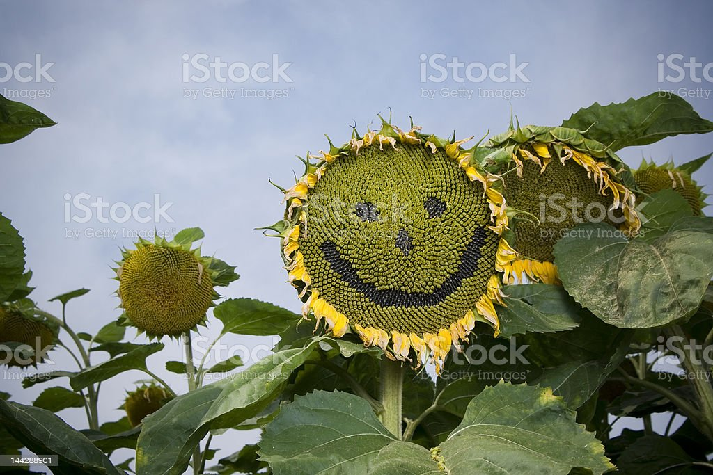 Smiling sunflower royalty-free stock photo