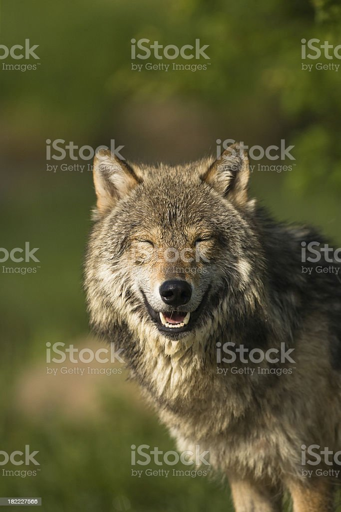 Smiling vertical gray wolf portrait amongst summer foliage. royalty-free stock photo