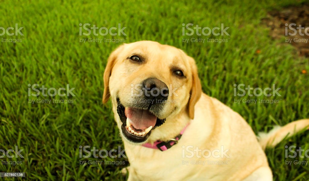 Smiling Yellow Lab stock photo