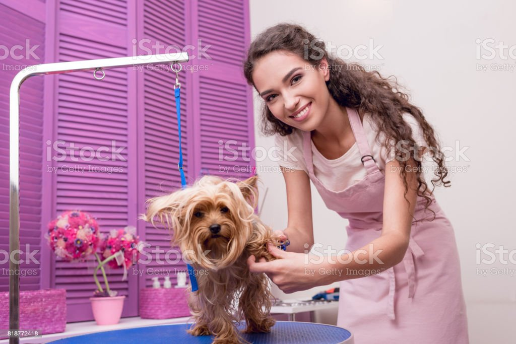 Smiling young professional groomer grooming yorkshire terrier in pet salon stock photo