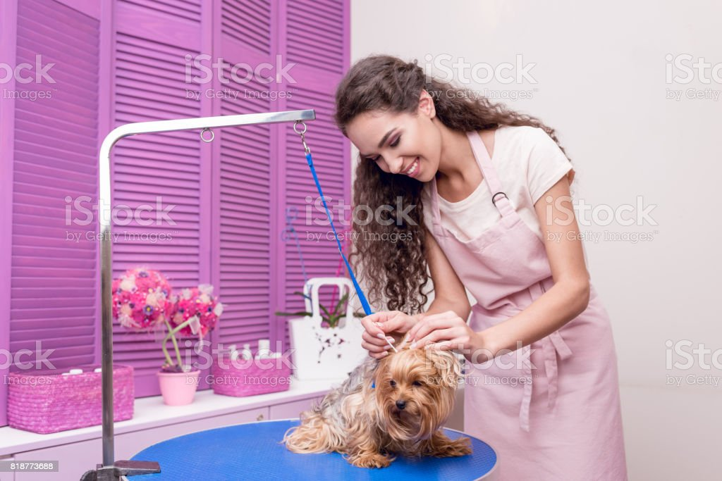smiling young woman in apron grooming adorable lap dog in pet salon stock photo