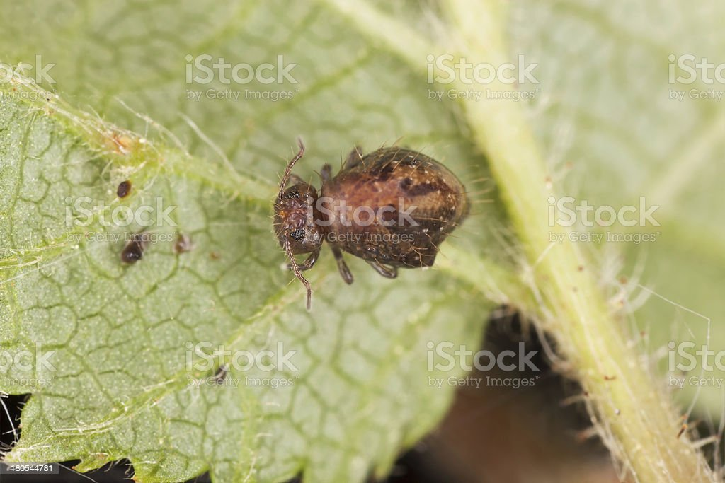 Sminthuridae , springtail on leaf, extreme close-up royalty-free stock photo