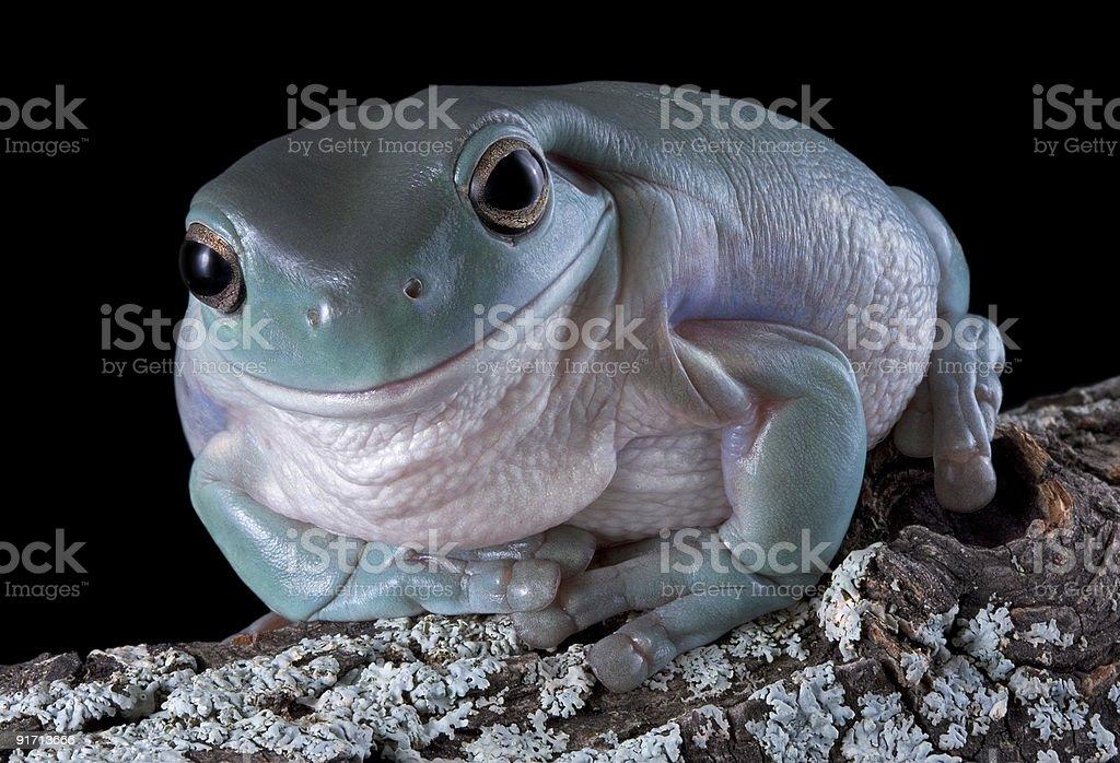 Smirking tree frog stock photo