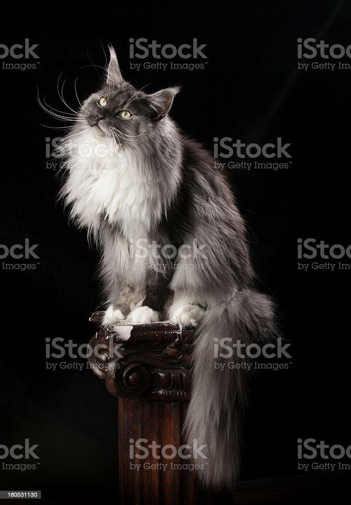 Smokey Maine Coon royalty-free stock photo