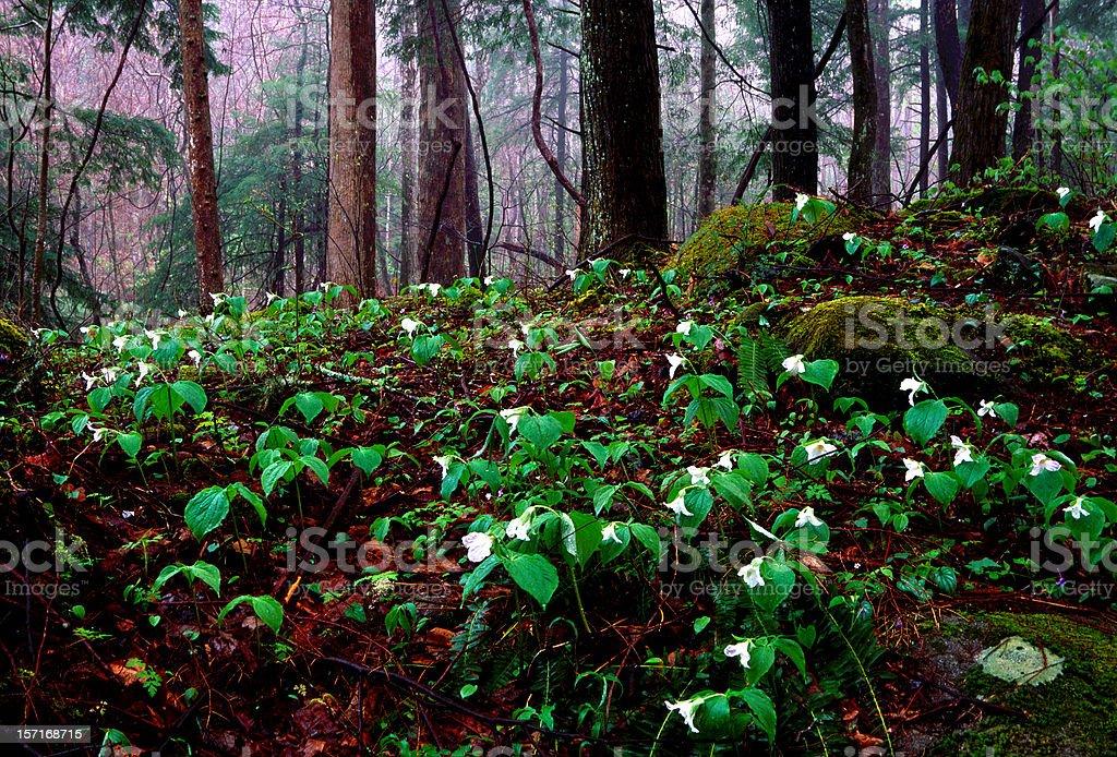 Smoky Mountain Wildflowers royalty-free stock photo