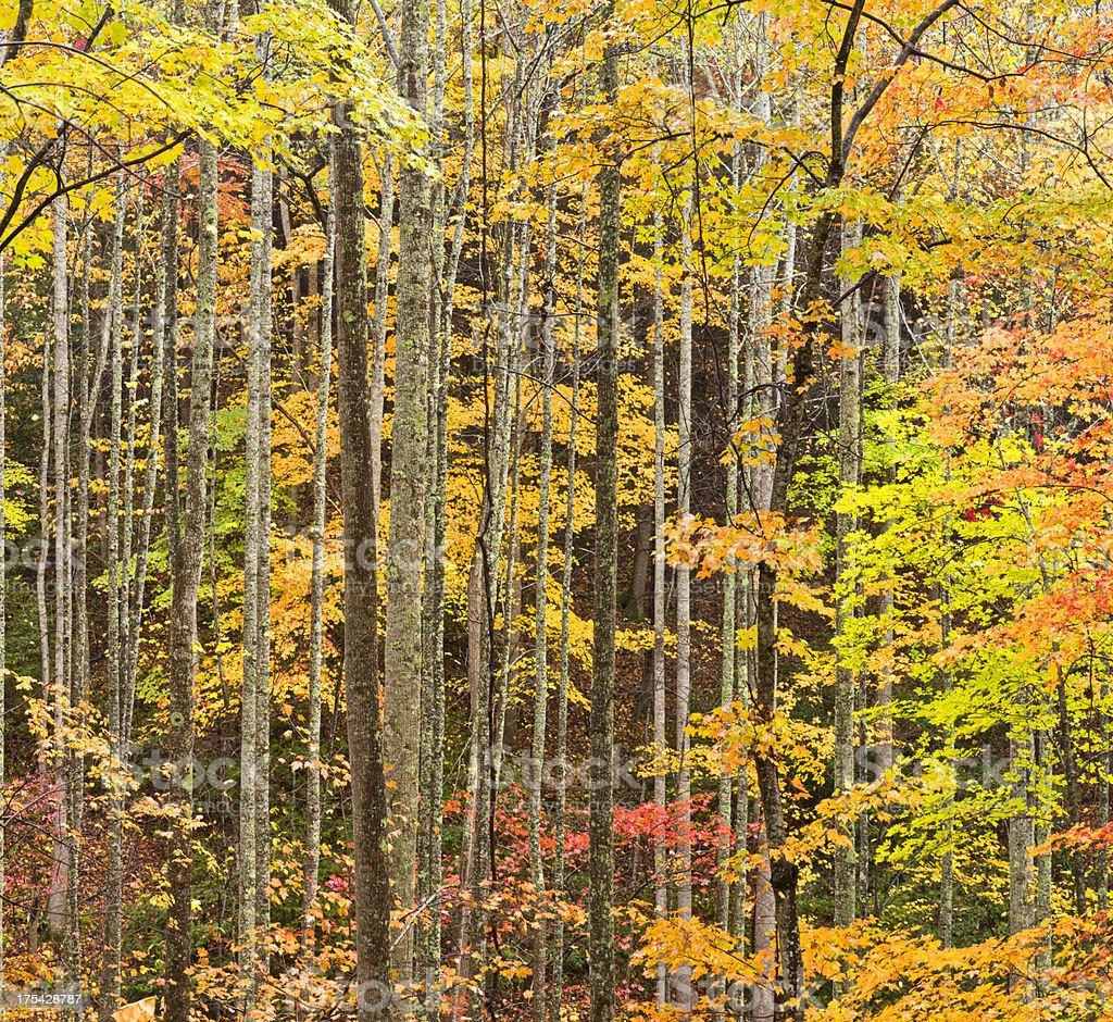 Smoky Mountains Autumn Woods royalty-free stock photo