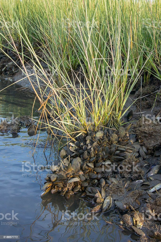 Smooth Cord Grass Growing on Ribbled Mussels stock photo