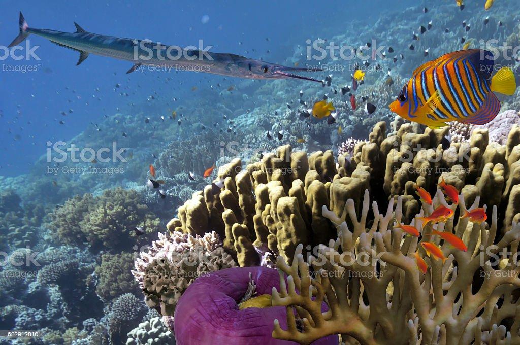Smooth Cornetfish in deep blue sea, Red sea