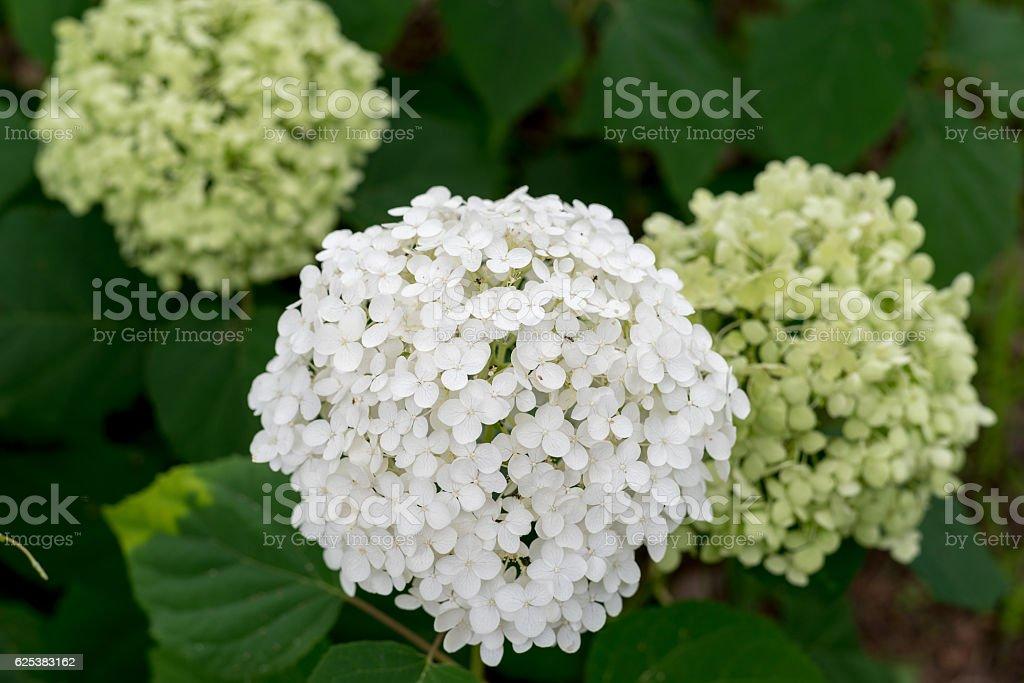 Smooth hydrangea,anabelle stock photo