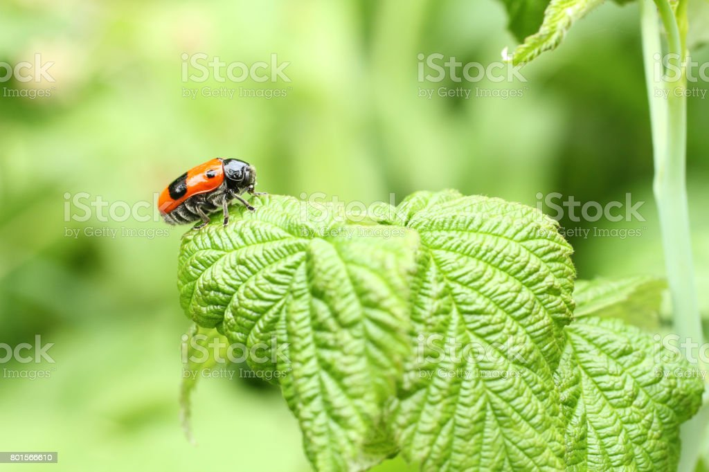 Smooth leaf beetle Clytra laeviuscula (suborder nemonious (Polyphaga)). Beetle with red wings with black dots on raspberry leaf stock photo