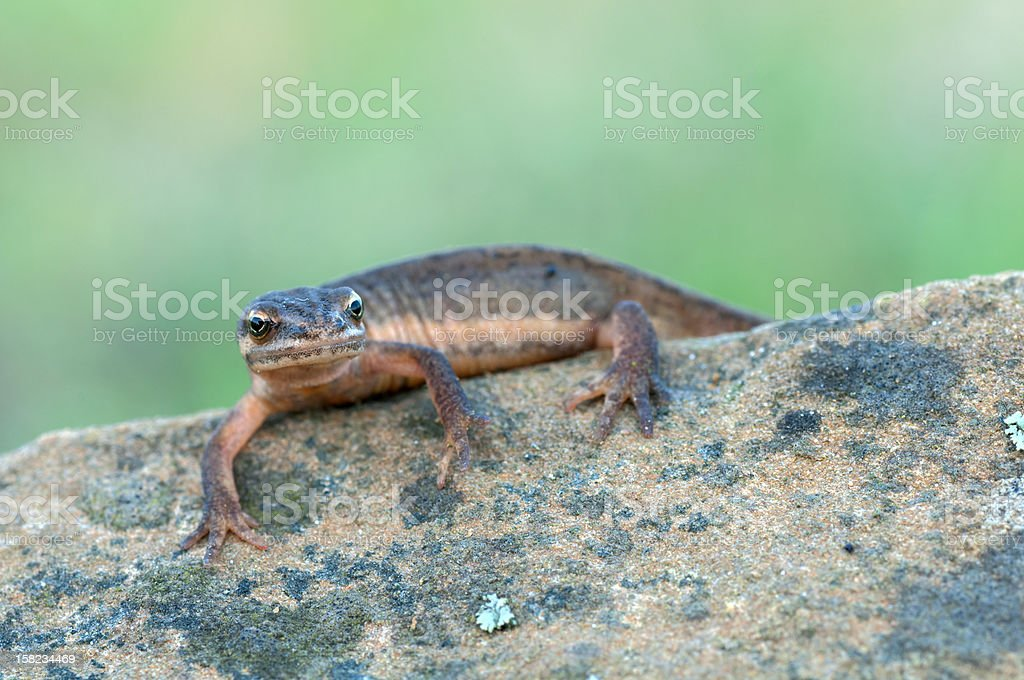 Smooth Newt stock photo