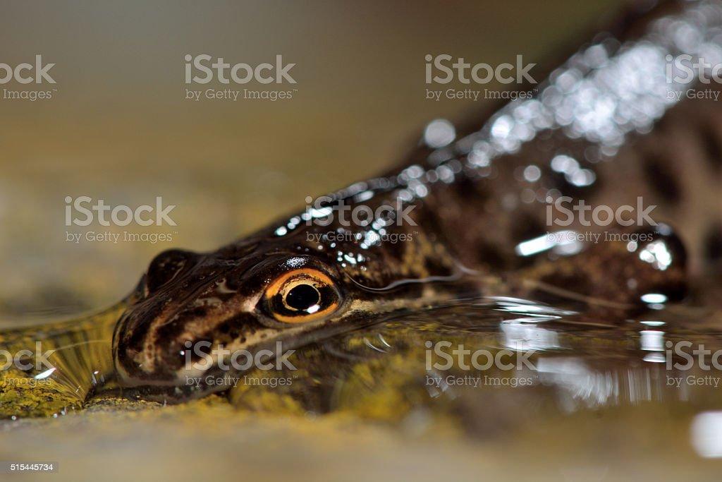 Smooth newt (Lissotriton vulgaris) stock photo