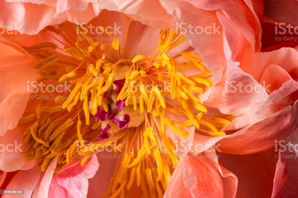 Smooth peony flower in bloom macro stock photo
