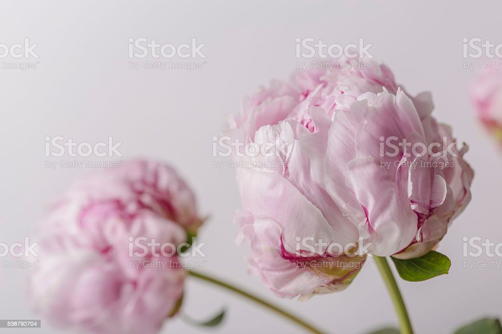 Smooth petals peony flower in bloom close up stock photo