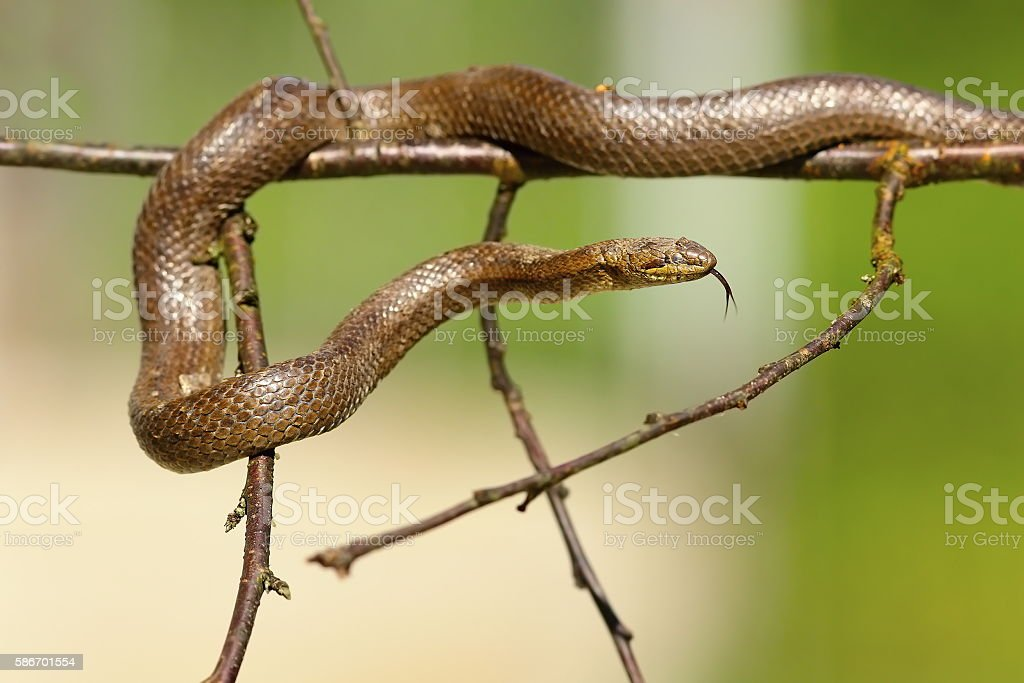 smooth snake climbing on twigs stock photo