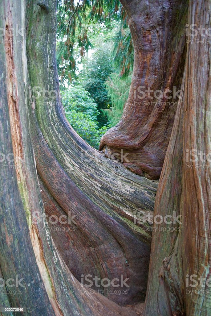 Smooth Trunks stock photo