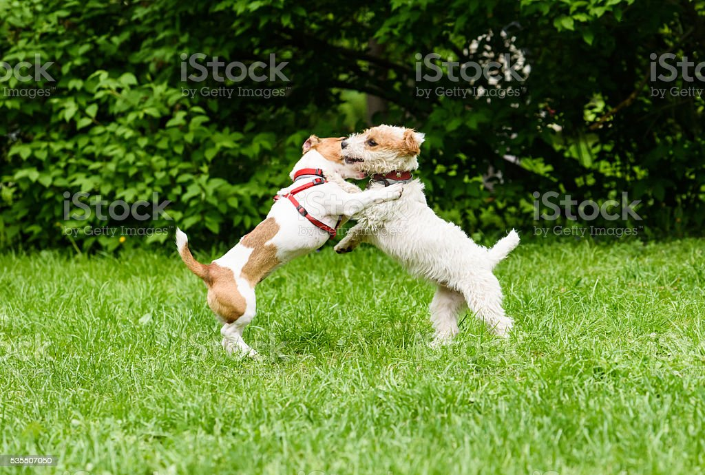 Smooth vs Broken coat. Two funny Jack Russell Terriers play stock photo