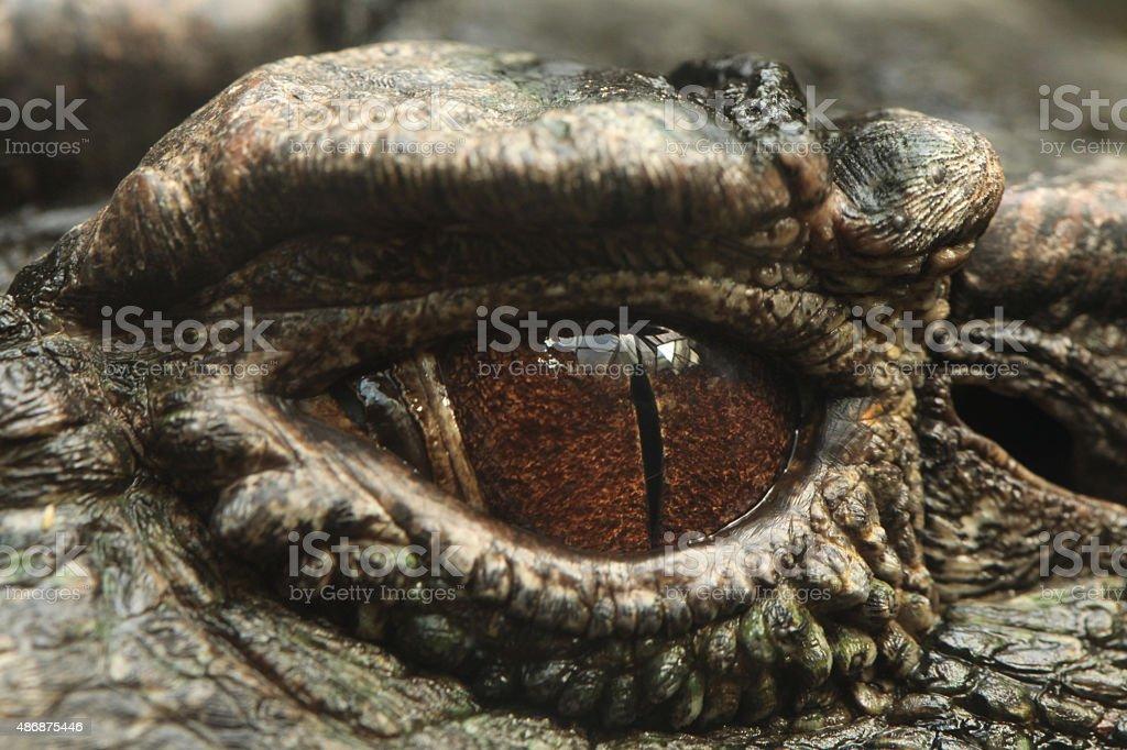 Smooth-fronted caiman (Paleosuchus trigonatus). stock photo