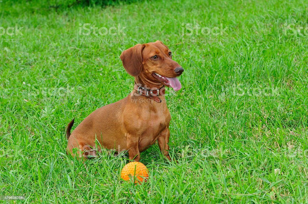 Smooth-haired dachshund standard, color red, female. Dog. stock photo