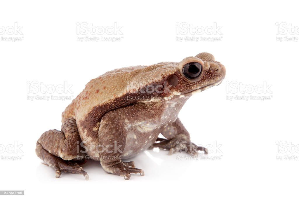 Smooth-sided toad isolated on white stock photo