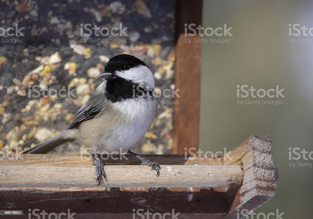 Snacking Chickadee stock photo