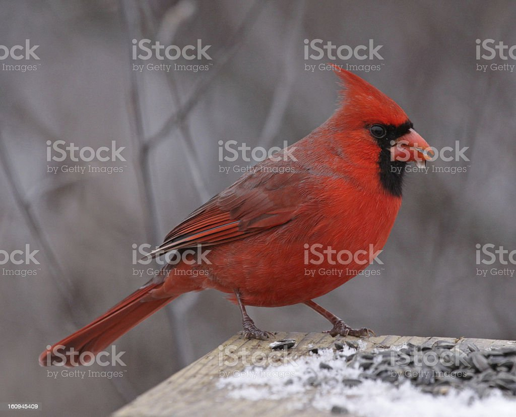 Snacking Northern Cardinal royalty-free stock photo
